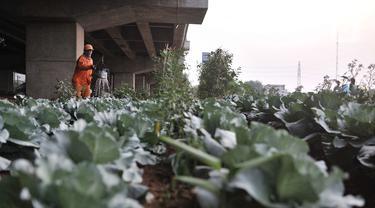 Harun (50) saat merawat kebun sayur di pinggir Jalan Tol Becakayu, Jakarta, Kamis (18/6/2020). Sudah 2 tahun Harun yang berprofesi sebagai petugas kebersihan itu menyambi berkebun sayur-mayur dengan memanfaatkan lahan kosong tepat berada di bawah jalan Tol Becakayu. (merdeka.com/Iqbal S. Nugroho)