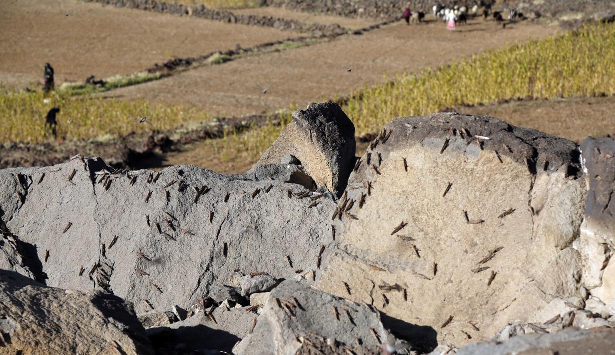 Kawanan belalang gurun terlihat hinggap di bebatuan di Provinsi Amran, Yaman, pada 24 Oktober 2020. (Xinhua/Mohammed Mohammed)