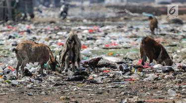 Kawanan kambing memakan sampah rumah tangga di permukiman kumuh Muara Baru, Penjaringan, Jakarta, Selasa (3/9/2019). Sulitnya mencari rumput di Ibu Kota menyebabkan peternak membiarkan kambing-kambing mereka memakan sampah rumah tangga. (Liputan6.com/Faizal Fanani)