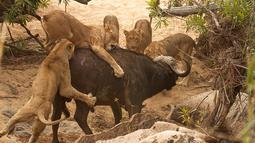 Seekor kerbau tua yang sedang berjalan diserang lima ekor singa lapar di Londolizi Game Reserve, dekat Taman Nasional Kruger, Afrika, Kamis (23/7/2015). (Dailymail)