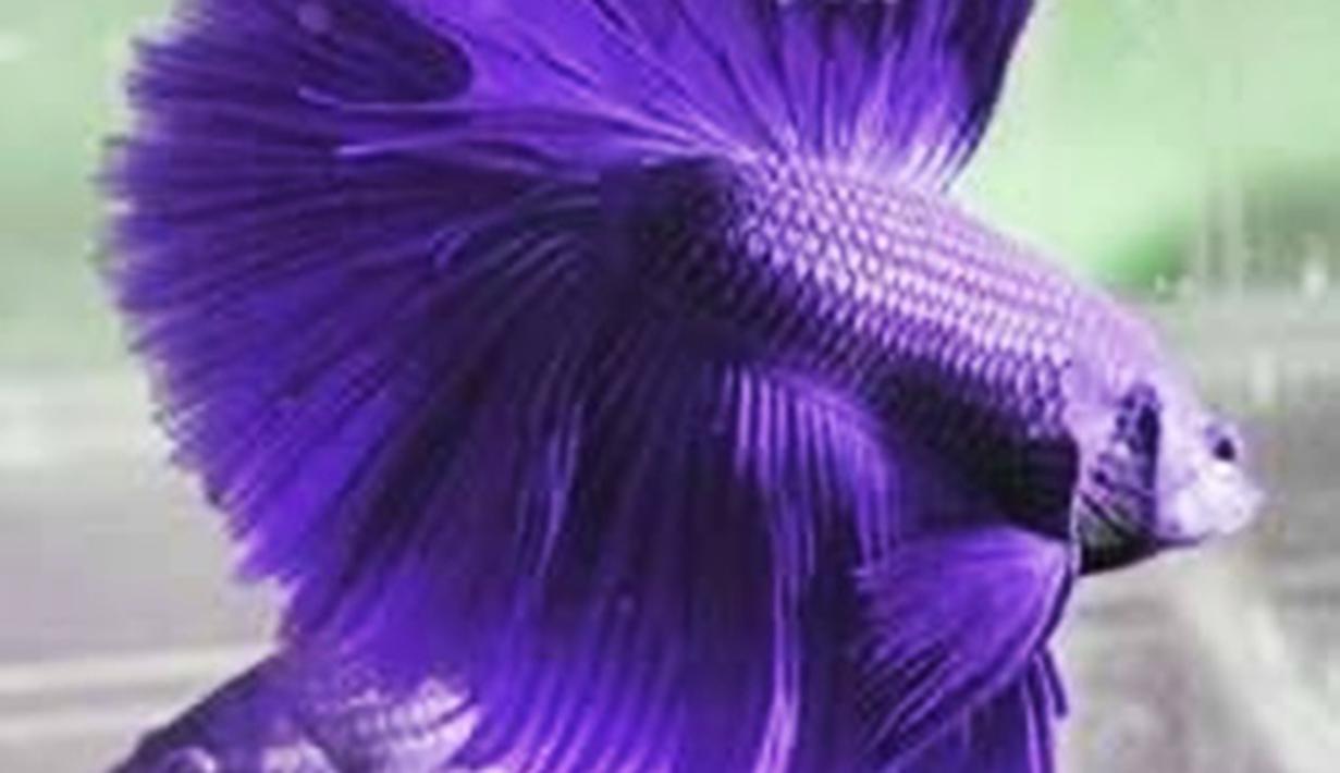 Ikan Cupang Ungu