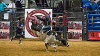 Seorang koboi junior bersaing dalam kompetisi World Finals for the International Miniature Bull Rider 2020 di Mesquite, Texas, AS, 9 Desember 2020. Kompetisi yang diselenggarakan oleh International Miniature Bullrider's Association itu diikuti oleh lebih dari 260 kontestan. (Xinhua/Dan Tian)