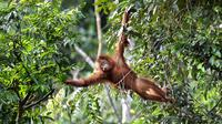 Orangutan bernama Keupok Rere melompat dari pohon saat dilepasliarkan di Cagar Alam Hutan Pinus Jantho, Aceh Besar, Selasa (18/6/2019). Dua orangutan yang dilepasliarkan oleh BKSDA Aceh masing-masing berumur 5,5 dan 4,5 tahun. (CHAIDEER MAHYUDDIN/AFP)
