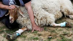 Relawan mengelus domba berkaki palsu di Freedom Farm, Moshav Olesh, Israel, 7 Maret 2019. Freedom Farm merawat babi buta hingga sapi dengan kaki palsu. (REUTERS/Nir Elias)