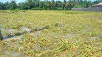 Ilustrasi – Padi terendam banjir rawan busuk. (Foto: Liputan6.com/Muhamad Ridlo)