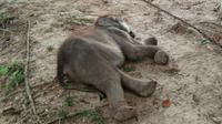 Gajah Puan Pandan Wangi mati di PLG Minas karena mengalami infeksi pencernaan. (Liputan6.com/Dok BBKSDA Riau/M Syukur)