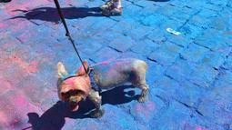 Seekor anjing penuh dengan bubuk warna-warni saat mengikuti Kyiv Color Run di Kiev, Ukraina, Minggu (10/6). The Color Run diluncurkan dan diselenggarakan pertama kali pada Januari 2012 di Amerika Serikat. (AFP PHOTO/Sergei SUPINSKY)