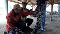 Seekor macan tutul yang dktemukan dalam keadaan mati dipindahkan ke tempat aman sebelum dibawa ke Kebun Binatang Bandung untuk memastikan penyebab kematiannya. (Istimewa)