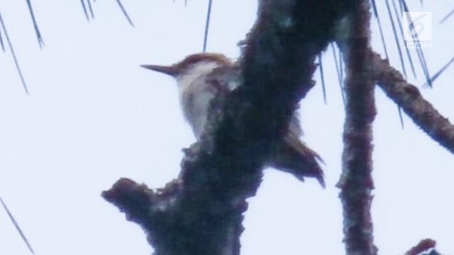 Burung Bahama Nuthatch yang sempat dianggap punah ternyata ditemukan lagi. Burung ini terakhir ditemukan bulan September 2016 setelah badai Matthew.