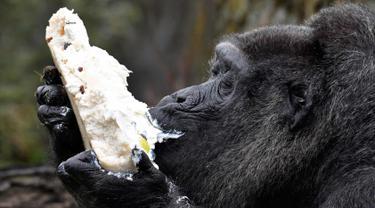 Gorila Fatou menikmati kue ulang tahunnya saat berusia 61 tahun di kebun binatang Zoologischer Garten di Berlin, Jerman (13/4). Fatou adalah gorila tertua dari jenisnya yang hidup di Eropa. (AFP Photo/John Macdougall)