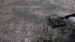"""Nelayan setempat mengumpulkan puluhan ribu ikan air tawar """"popocha"""" yang mati di laguna Cajititlan, negara bagian Jalisco, Meksiko, 17 Agustus 2015. Diduga sekitar 25 ton ikan mati karena tercemar limbah pabrik. (AFP PHOTO/HECTOR GUERRERO)"""