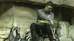 Beberapa ekor penguin Magellan diberi makan di Shedd Aquarium di Chicago, Amerika Serikat (17/2/2020). Shedd Aquarium  memiliki koleksi 32.000 ekor binatang dan menarik sekitar 2 juta pengunjung setiap tahun. (Xinhua/Joel Lerner)