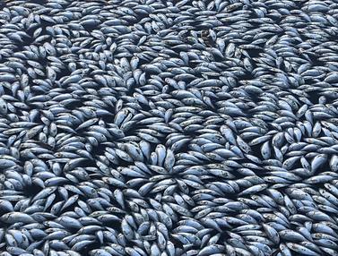 Ikan Mati di Australia