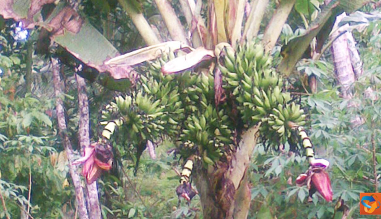 Citizen6, Maluku: Pohon pisang bertandan tiga tumbuh dikebun milik Hasanuddin Samad. (Pengirim: Ghopal)