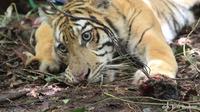 Harimau sumatera korban jerat pemburu (Foto: Drh Eni Suyanti)