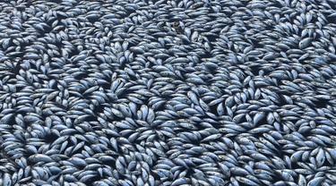 Ikan-ikan mati mengambang di sungai Darling di Menindee, wilayah timur Australia yang dihantam kekeringan hebat, Selasa (29/1). Ratusan ribu ekor ikan mati secara massal dalam insiden ketiga yang terjadi dua bulan terakhir. (ROBERT GREGORY / AFP)