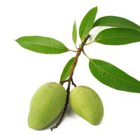 Ilustrasi daun mangga. (foto: shutterstock.com)