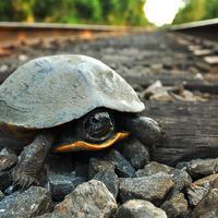 Kereta api di Jepang memberi kesempatan kura-kura untuk berjalan di atas rel.