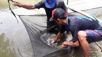 Budidaya ikan dalam sistem longyam, ikan jadi lebih cepat besar. (Foto: Liputan6.com/Muhamad Ridlo)