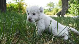 Seekor bayi singa putih bermain di taman margasatwa Wild World Jinan, Jinan, Provinsi Shandong, China, Minggu (14/6/2020). Wild World Jinan merayakan satu bulan kelahiran tiga bayi singa putih mereka pada 14 Juni 2020. (Xinhua/Wang Kai)