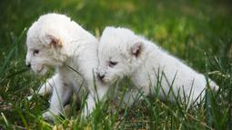 Dua bayi singa putih bermain di taman margasatwa Wild World Jinan, Jinan, Provinsi Shandong, China, Minggu (14/6/2020). Wild World Jinan merayakan satu bulan kelahiran tiga bayi singa putih mereka pada 14 Juni 2020. (Xinhua/Wang Kai)
