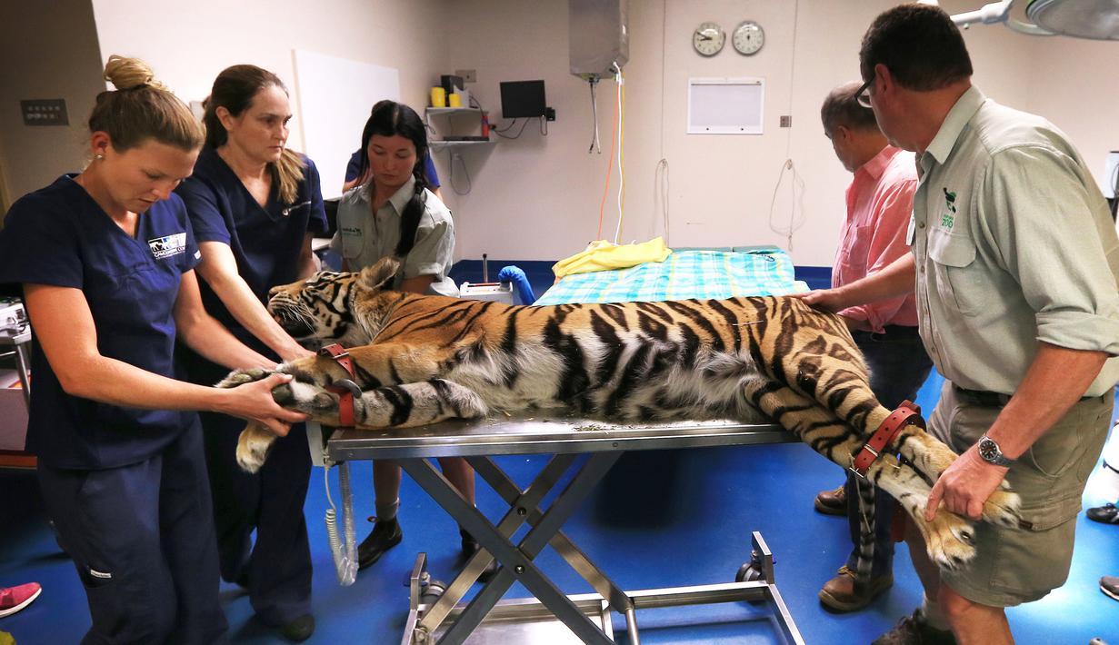 Harimau Bengal dari Taman Satwa Zambi di Sydney saat menjalani operasi penyembuhan matanya yang juling di Rumah Sakit Universitas Kedokteran Hewan di Camden, Sydney, Australia, Rabu (16/11). (AFP Photo/Toby Zerna)