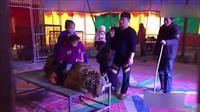Seekor harimau tengah menjadi objek selfie pengunjung sirkus