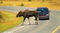 Hewan melintas di jalan bebas hambatan. (The Canadian Nature Photographer)