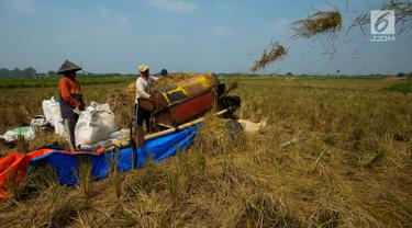 Petani memanen padi jenis Jarong (unggulan) di Kawasan Bekasi-Jakarta, Selasa (2/7/2019). Hasil panen padi kali ini para petani kurang memuaskan akibat cuaca yang tidak menentu dan serangan hama. (merdeka.com/Imam Buhori)