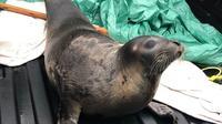 Anjing laut yang terdampar di sebuah kota di Kanada. (Royal Canadian Mounted Police (RCMP)).