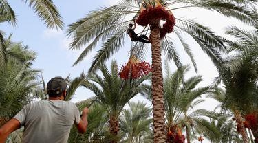 Petani memanen kurma di sebuah perkebunan di Deir el-Balah, Jalur Gaza pada 1 Oktober 2020. Musim panen kurma biasanya dimulai awal Oktober, setelah musim hujan pertama. (AP Photo/Adel Hana)
