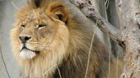 Kejadian penyerangan oleh binatang kembali terjadi. Kali ini seekor singa menyerang kendaraan pengunjung taman nasional yang melintas.
