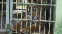 Harimau Sumatera di Medan Zoo (Liputan6.com / Reza Efendi)
