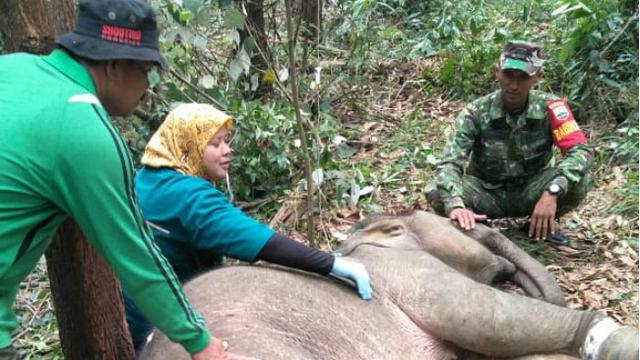 Petugas BBKSDA Selamat Setelah Diserang Gajah yang Terjerat