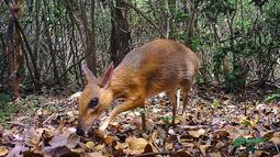 Chevrotain berpunggung perak terekam pada 21 Juni 2018 di salah satu hutan di wilayah tenggara Vietnam. Namun para peneliti tidak yakin berapa 'tikus-rusa' yang ditangkap oleh kamera (Global Wildlife Conservation/Southern Institute of Ecology/Leibniz Institute for Zoo and Wildlife Research/NCNP/AFP)