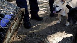 Dua ekor anjing saat melihat evakuasi Seekor tikus yang terjebak di sebuah lubang tong sampah di Brooklyn, New York, Amerika Serikat, (18/10). Supaya tidak terjadi lagi, petugas menambal lubang yang menjebak tubuh si tikus. (REUTERS/Lucas Jackson)