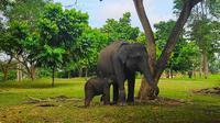 Dua gajah binaan BBKSDA Riau di Pusat Latihan Gajah Minas, Kabupaten Siak. (Liputan6.com/M Syukur)