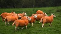 Kawanan domba milik Pip Simpson mencari rumput di lereng bukit di Troutbeck, Inggris bagian utara, Kamis (29/9). Sang pemilik mewarnai bulu dombanya dengan pewarna oranye tidak beracun untuk melindungi hewan ternaknya itu daripencuri.  (Oli Scarff/AFP)