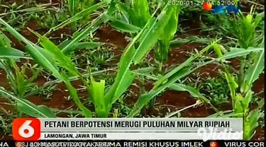 Ribuan hektar tanaman jagung di 10 desa di Lamongan Jawa Timur terancam gagal panen akibat serangan hama ulat graya. Para petani jagung terancam merugi mencapai total puluhan miliar rupiah.