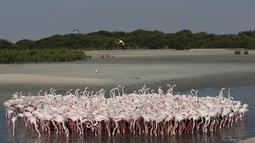 Burung flamingo berkumpul untuk mencari makan di Ras Al Khor Wildlife Sanctuary di Dubai, Uni Emirat Arab (2/6). Pemerintah Dubai membuat cagar alam di pesisir guna menjaga habitat flamingo serta mencegah erosi. (AP Photo / Kamran Jebreili)