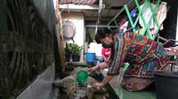 Seekor buaya yang telah dipelihara warga harus dievakuasi petugas Balai Konservasi Sumber Daya Alam (BKSDA) karena merupakan hewan dilindungi (Liputan6.com/Achmad Sudarno)
