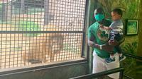 Jacksen dan Diego Samir Tiago berpose di depan kandang Singa di Ancient Zoo Kota Batu. (Bola.com/Gatot Susetyo)