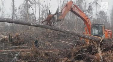 Beredar video viral orangutan di Kalimantan menghadapi buldoser yang merusak hutan tempat tinggal hewan tersebut. Dalam rekaman terlihat primata itu kebingungan.