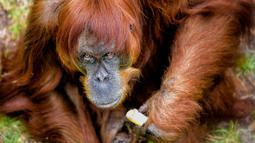 "Puan menikmati pisang di kandangnya di Kebun Binatang Perth di Australia, Kamis (27/10).  Petugas Kebun Binatang Perth mengatakan, kesehatan Puan sangat baik tetapi semakin bertambahnya usia, Puan kerap ""marah-marah"". (Perth Zoo/Alex Asbury/ REUTERS)"