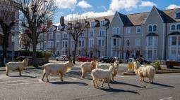 Kawanan kambing berjalan di jalan-jalan yang sepi di Llandudno, Wales utaraGerombo, Selasa (31/3/2020). Kambing-kambing liar tersebut berkeliaran di jalanan kota yang tampak lengang selama pemberlakuan lockdown dalam upaya membatasi penyebaran virus corona di Kawasan tersebut. (Pete Byrne/PA via AP)