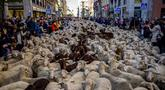 Kawanan domba dipandu melalui pusat Kota Madrid, Spanyol, Minggu (24/10/2021). Para gembala memandu domba melewati jalan-jalan Madrid untuk membela hak penggembalaan dan migrasi kuno yang semakin terancam oleh urban sprawl dan praktik pertanian modern. (AP Photo/Manu Fernandez)