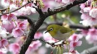Seekor burung Pleci Jepang (Zosterops Japonicus) bertengger di sebuah pohon di Taipe, Kamis (9/3). Bodi imut dengan bulu yang cerah ditambah suaranya yang merdu membuat burung ini disukai banyak orang. (AFP PHOTO / Sam YEH)