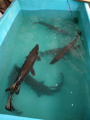 Matinya Perdagangan Ikan Aligator di Pasar Tradisional Palembang
