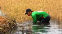 Puluhan hektare sawah di pesisir pantai Cianjur diterjang banjir rob (Achmad Sudarno/Liputan6.com)