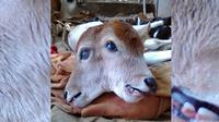 Seekor induk sapi melahirkan anak sapi berkepala dua di Kabupaten Indragiri Hulu, Provinsi Riau. (Dok. Dinas Perikanan dan Pertanian Indragiri Hulu untuk M Syukur/Liputan6.com)